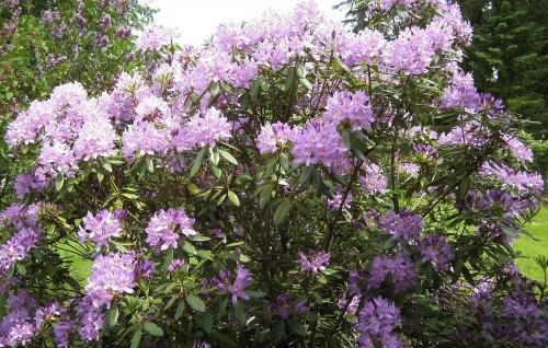 rhododendrons  juin 2013 001blog de regijoset.JPG